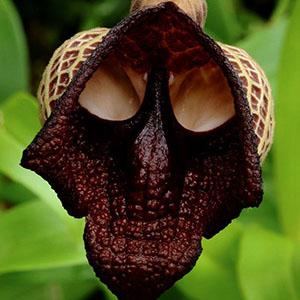 орхид