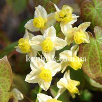 w - Epimedium Sulphureum