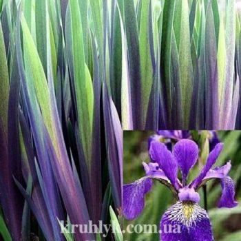 w - Iris versicolor gerald darby