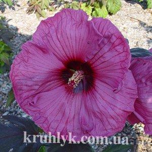 watermarked - Hibiscus Plum Crazy