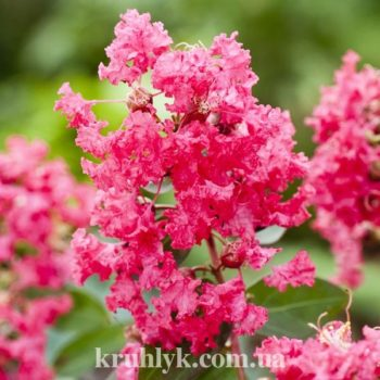 watermarked - Lagerstroemia-Fili-Coral-0754