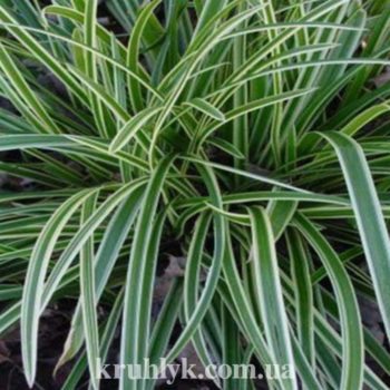 watermarked - carex ice fountain
