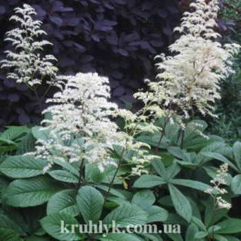 watermarked - rodgersia la blanche