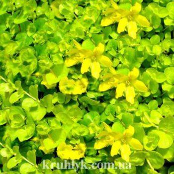 watermarked - Lysimachia nummularia -'Aurea