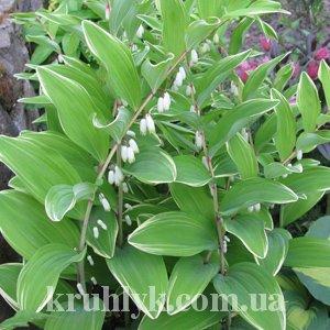 watermarked - Polygonatum variegata