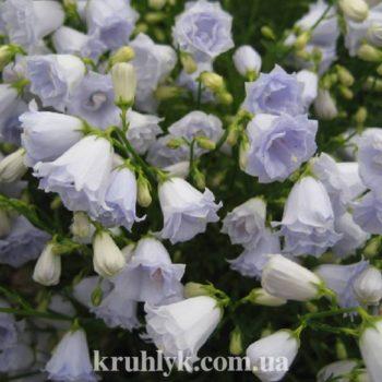 watermarked - campanula elixabeth oliver