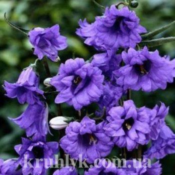 watermarked - campanula-trachelium-bernice Дибора (1)