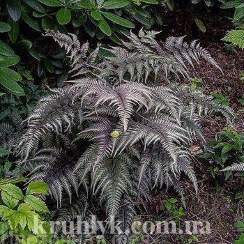 watermarked - Athyrium niponicum Metallicum