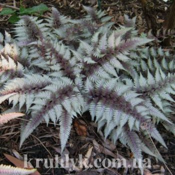 watermarked - athyrium red beauty