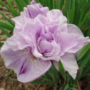 Iris Rigamarole Sibirica - гла