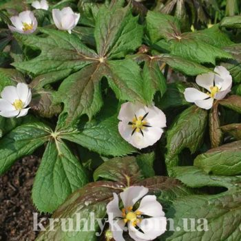 watermarked - Подофилл щитовидный — Podophyllum гл
