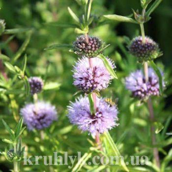 watermarked - MENTHA CERVINA (Preslia cervina)