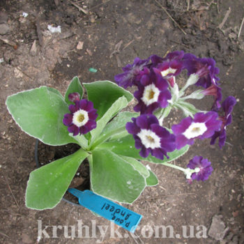 watermarked - Primula Anderl