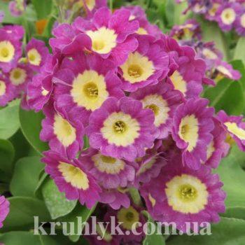 watermarked - Primula auricula 'Hansi' главн