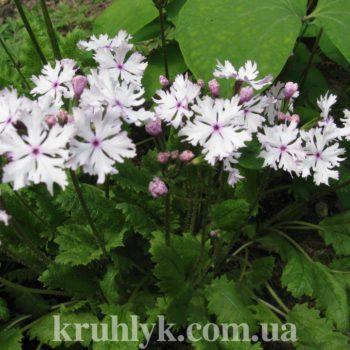 watermarked - Primula sieboldii Kashima Small главн