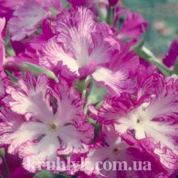 watermarked - Primula sieboldii Miho no Koji