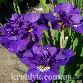 watermarked - iris sibirica double standard