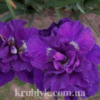 watermarked - iris sibirica kaboom