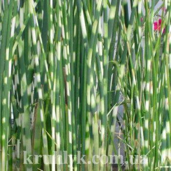 watermarked - scirpus tabernaemontani zebrinus гла