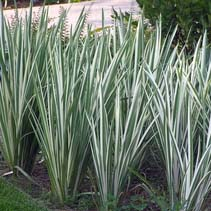Iris Ensata 'Variegata' 2
