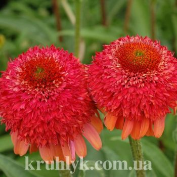 watermarked - Echinacea Meteor Red (1)