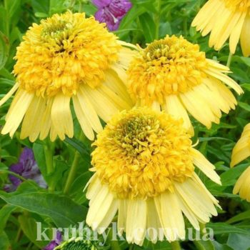 watermarked - Echinacea Meteor Yellow