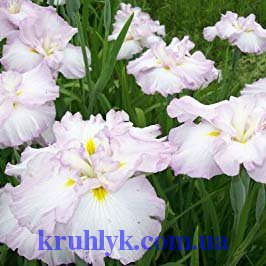 watermarked - Iris ensata 'Lady in Waiting'