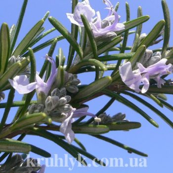 watermarked - Rosmarinus Officinalis_