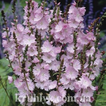watermarked - SIDALCEA 'Elsie Heugh