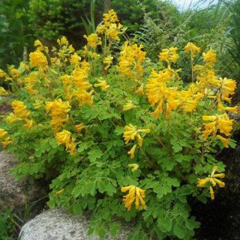 хохлатка желтая Pseudofumária lútea