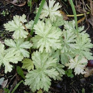 Geranium phaeum Margaret Wilson 1