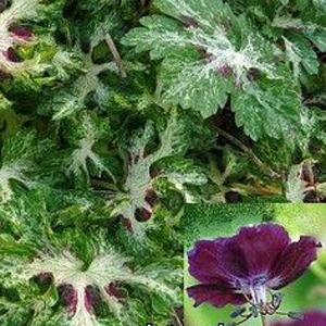 Geranium phaeum Spring Time