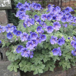 geranium blue blood (1)