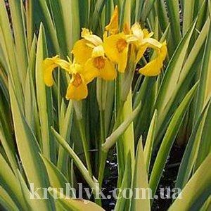 watermarked - ирис pseudacorus variegata