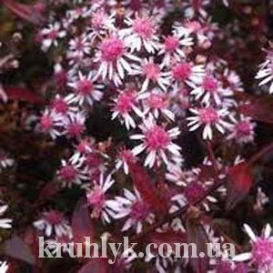 watermarked - Aster lateriflorus 'Lady in Black'