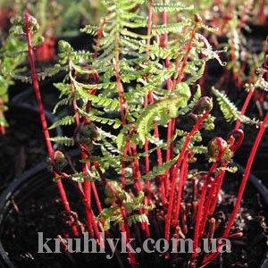 watermarked - Athyrium filix-femina 'Lady in Red'