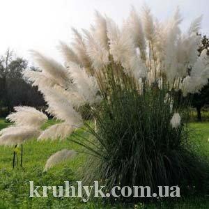 "watermarked - Cortaderia-selloana-""White-Feather"""