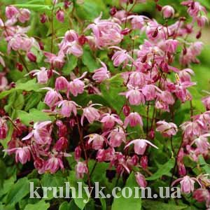 watermarked - Epimedium youngianum 'Roseum'