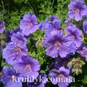 watermarked - Geranium magnificum 'Rosemoor'