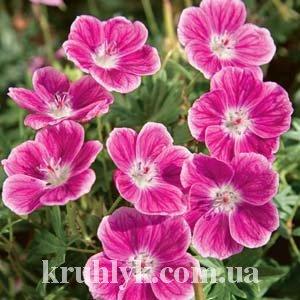 watermarked - Geranium sanguineum 'Elke'