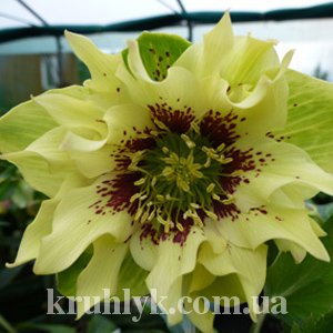 watermarked - Helleborus orientalis 'Double Ellen' Yellow Spotted
