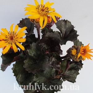watermarked - Ligularia dentata 'Pandora' ® глав