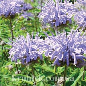 watermarked - Monarda hybride 'Elsie's Lavender'