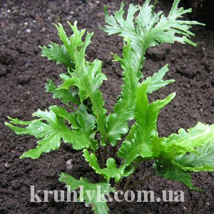 watermarked - Phyllitis (Asplenium) scolopendrium 'Furcata'