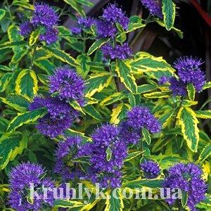 watermarked - Caryopteris x clandonensis 'Summer Sorbet'