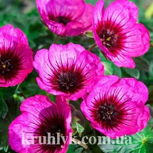 watermarked - Jolly Jewel Night Geranium