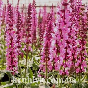 watermarked - Salvia nemorosa 'rose queen'