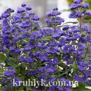 watermarked - caryopteris