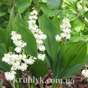 watermarked - Convallaria majalis Prolificans — Ландыш майский махровый