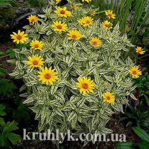 watermarked - Heliopsis helianthoides Loraint Sunshine